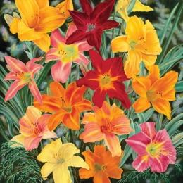 daylilies 30 x 30