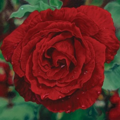 red rose 20 x 20