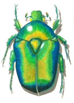 fixed-rose-chafer-dorsal-color-72-dpi-jpg