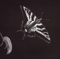Pale-swallowtail-72-dpi-jpg-correct-orientation