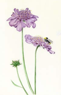 Purple-pincushion-and-bee-2-72-dpi