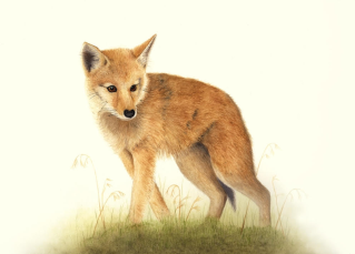 young coyote